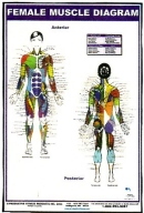 Female Muscle Diagram Poster